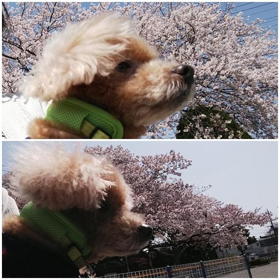 桜Haro.jpg